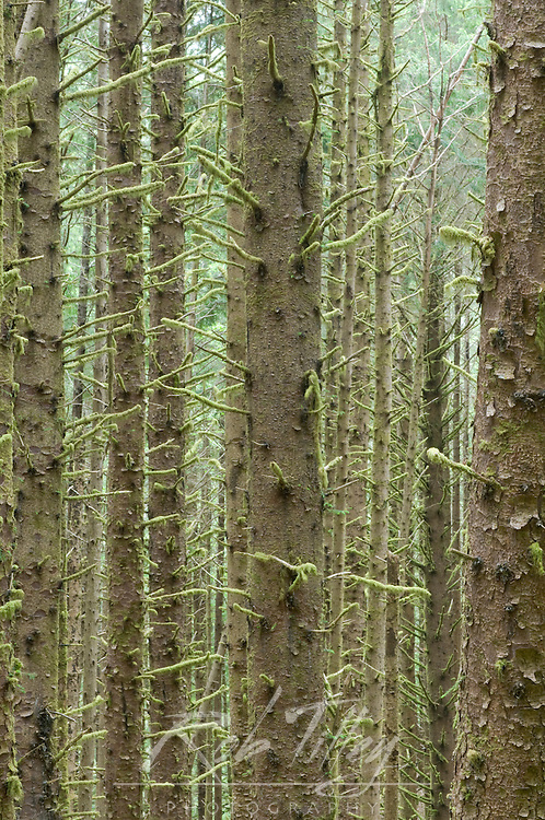 Sitka Spruce in Costal Rainforest, Cape Perpetua, Siuslaw NF, OR, USA