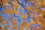 Looking Up At Colorful Autumn Leaves And Branches Against A Vivid Blue Sky, Portsmouth New Hampshire, USA