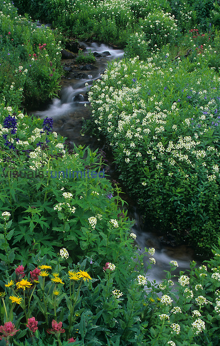Mountain brook or stream through a meadow with Bitter Cress, Subalpine Larkspur, Magenta Paintbrush, and Sneezeweed, Mt. Sneffels Wilderness, Rocky Mountains, Colorado, USA.