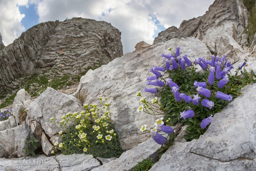 Saxifraga squarrosa LEFT and Zois' Bellflower {Campanula zoysii} RIGHT growing in a crevice on a limestone cliff face. Triglav National Park, Julian Alps, 2000m, Slovenia. July.