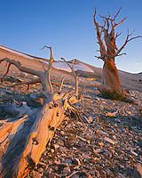 Inyo National Forest, CA <br /> Sunrise on a fallen bristlecone pine next to a twisted standing pine (Pinus longaeva) int e Patriarch Grove