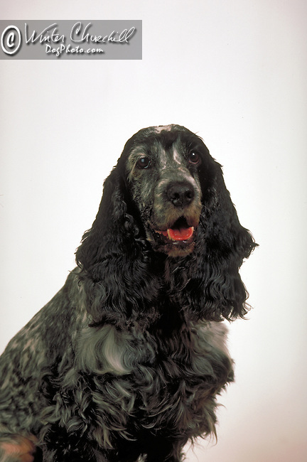 ENGLISH COCKER SPANIEL<br /> <br /> Shopping cart has 3 Tabs:<br /> <br /> 1) Rights-Managed downloads for Commercial Use<br /> <br /> 2) Print sizes from wallet to 20x30<br /> <br /> 3) Merchandise items like T-shirts and refrigerator magnets