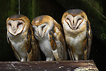 Barn Owls, Washington