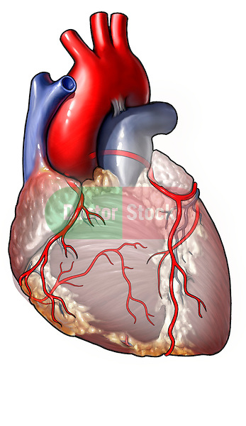 This anterior illustration of the heart depicts the coronary arteries in sharp relief against a grayed out background.