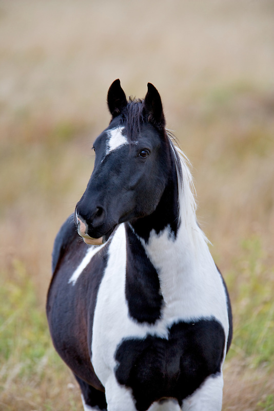 Black and white horse. Montana
