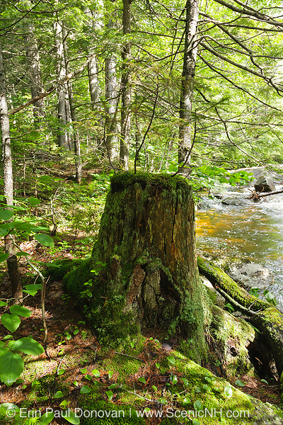 Old tree stump next to Meadow Brook which travels near the Sawyer River Trail. Sawyer River Trail travels along the old Sawyer River Railroad logging line in Livermore, New Hampshire USA. This was a logging railroad that operated from 1877 - 1928