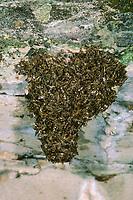 Ibisfliege, Haufen von Eiern und eirlegenden Weibchen, Atherix ibis, ibis fly, snipe fly, Ibisfliegen, ibis flies, Athericidae