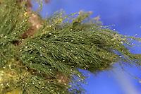 Rhizoclonium sp