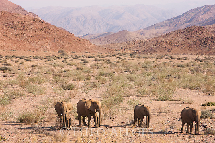 Namibia;  Namib Desert, Skeleton Coast,  desert elephant (Loxodonta africana), breeding herd crossing sparsely vegetated gravel plain