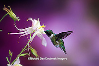 01162-074.15 Ruby-throated Hummingbird (Archilochus colubris) male on McKana's Hybrid Columbine (Aquilegia x hybrida) Shelby Co.  IL