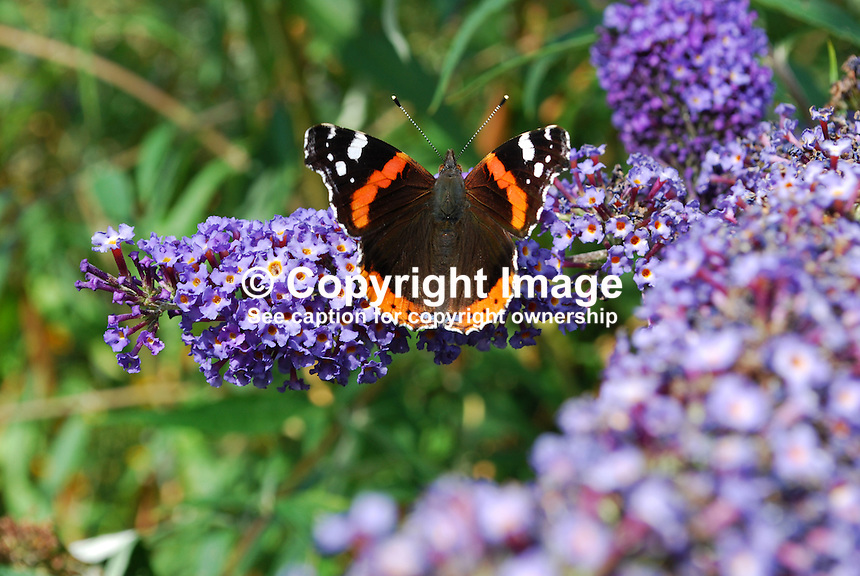 Red Admiral butterfly photographed on a Buddleja bush not inappropiately named the butterfly bush. This butterfly is common throughout Britain and Ireland. In northern Europe, it is one of the last butterflies to be seen before winter sets in.  2011080043.   Copyright Image from Victor Patterson, 54 Dorchester Park, Belfast, United Kingdom, UK.  Tel: +44 28 90661296..For my Terms and Conditions of Use go to http://www.victorpatterson.com/Victor_Patterson/Terms_%26_Conditions.html