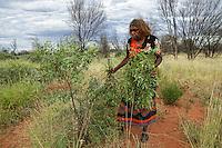 Audrey Martin gathers the leaves from a shrub known for its medicinal properties.///Audrey Martin récolte les feuilles d'un arbuste connu pour ces propriétés médicinales.