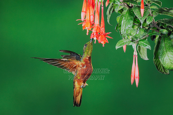 Chestnut-Breasted Coronet (Boissonneaua matthewsii), adult feeding from fuchsia flower,Papallacta, Ecuador, Andes, South America