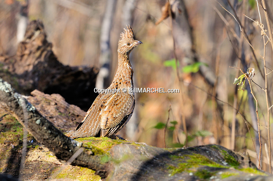 00515-074.12 Ruffed Grouse is on drumming log during fall.  Male, drum, court, breed, territory.