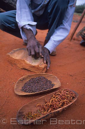 A Pitjantjatjara man grinds seeds of Mulga (Acacia aneura)  in traditional way. It is made into an uncooked porridge for babies. Ayers Rock, NT.