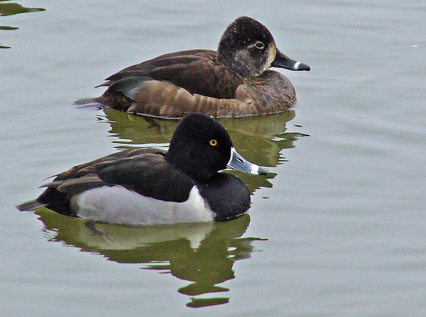 Ring-necked duck drake and hen. Magness Lake near Heber Springs, Arkansas.
