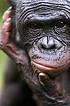Bonobo mature male head (Pan paniscus), Lola Ya Bonobo Sanctuary, Democratic Republic of Congo.