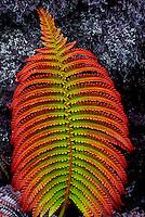 Amuu fern (sadleria), Big Island
