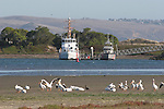 white pelicans in Bodega Bay