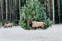 Rocky Mountain Elk Bull guarding several cows during fall rut.  Northern Rockies.  October.