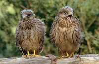 Turmfalke, flügge Jungvögel, Turm-Falke, Falke, Falco tinnunculus, common kestrel