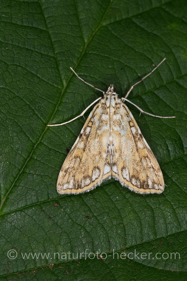 Seerosenzünsler, Seerosen-Zünsler, Laichkrautzünsler, Laichkraut-Zünsler, Nymphula nymphaeata, Elophila nymphaeata, Brown China-mark moth, Brown China-mark, Zünsler, Pyralidae