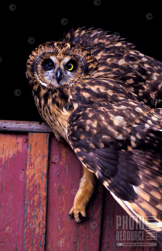 A stiking side-view close-up of a pueo, or Hawaiian owl resting on a fence. The pueo is sacred in Hawaiian culture as an aumakua. A native endangered species in Hawaii. (species: asio flammeus sandwichensis)