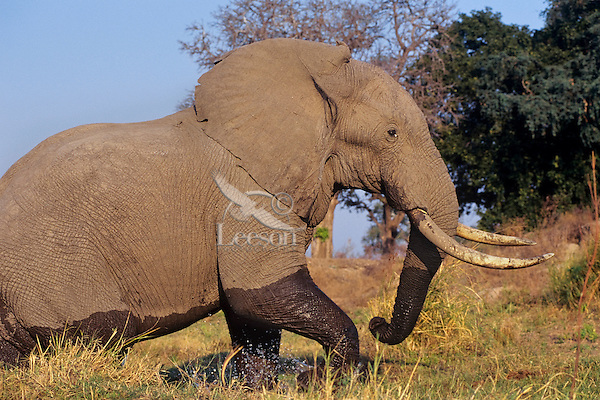 African Elephant bull walks along the marshy edge of the Zambezi River.
