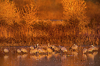 512666418 a large flock of sandhill cranes grus canadensis forage in a large pond in bosque del apache national wildlife refuge new mexico