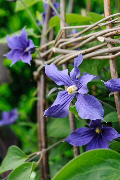 Clematis × durandii