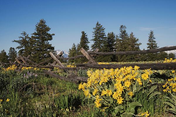Arrowleaf Balsamroot (Balsamorhiza sagittata), Grand Teton National Park, Wyoming, USA