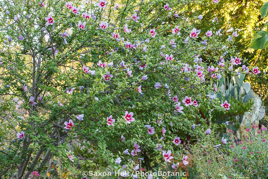 Hibiscus syriacus, Rose of Sharon flowering shrub in<br /> Yanker-Hansen garden