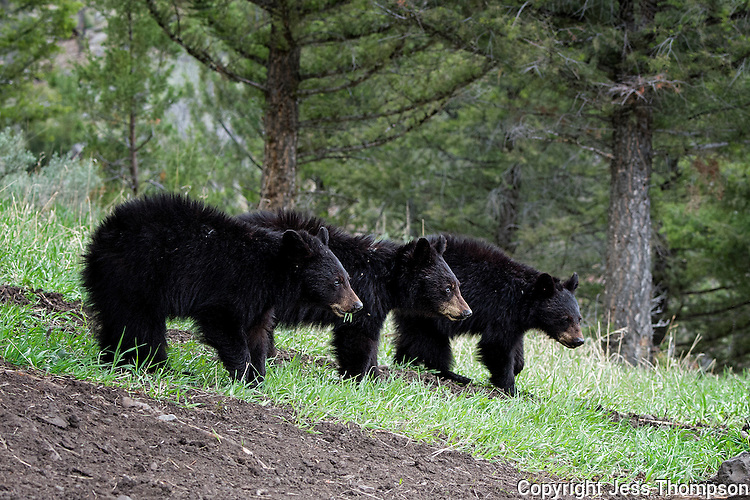 Three cubs, two years old, mother called Rosie, Yellowstone National Park