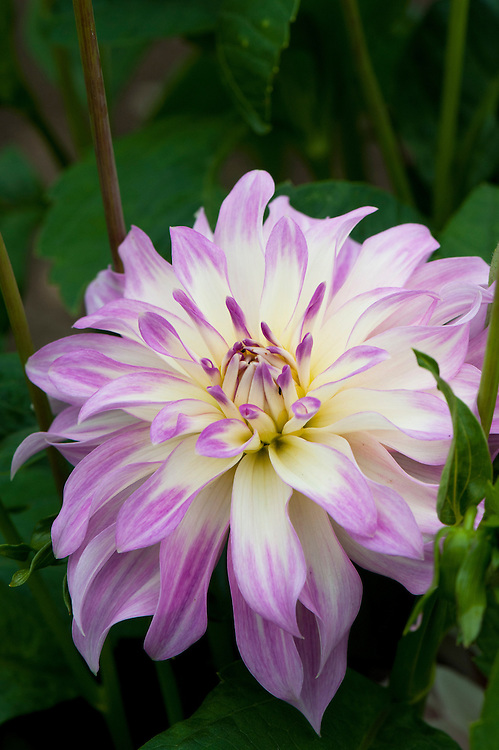 Dahlia 'Geisha Girl', mid August.