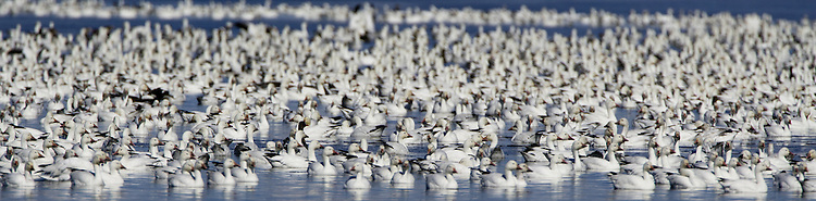 Flock of Snow Geese swimming on a pond