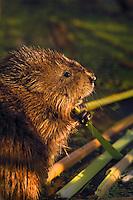 Muskrat (Ondatra zibethicus) eating at dawn. Hillman Marsh. Lake Erie. Ontario, Canada.