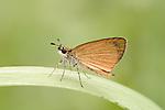 Least Skipper (Ancyloxypha numitor), Oklahoma, USA....