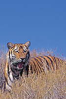 683999279 a captive bengal tiger panthera tigris stands on a grass covered hillside species is endangered and this animal is a wildlife rescue