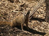 A Captive Yellow Mongoose {Cynictis penicillata} at London Zoo