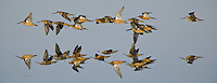 Flock of Long-billed Dowitchers flying over a still pond