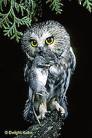 OW03-072z  Saw-whet owl - owl with mouse prey - Aegolius acadicus