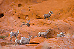 A lone Nevada bighorn ram walks with his herd along the colorful petrified sand dunes that create the unique landscape of Valley of Fire state park in Southern Nevada about 2 hours outside of Las Vegas.