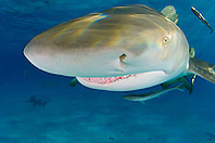 Lemon Shark, Negaprion brevirostris, showing Ampullae of Lorenzini, nostril, eye, and teeth, West End, Grand Bahama, Atlantic Ocean