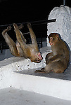 2 Juvenile Barbary Macaques playing games on steps on Rock of Gibraltar.