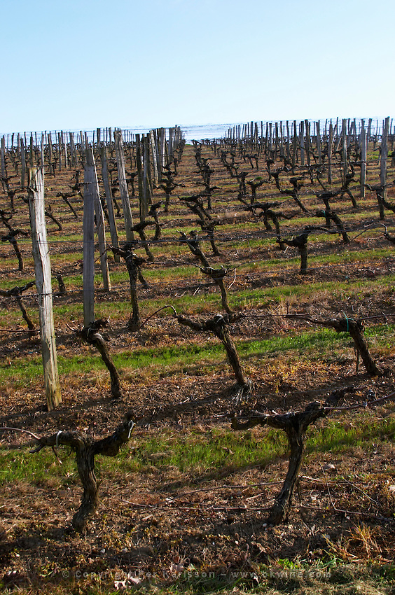 guyot double training vineyard chateau pey la tour bordeaux france