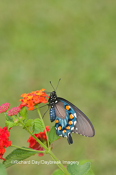 03004-00809 Pipevine Swallowtail (Battus philenor) on Red Spread Lantana (Lantana camara) Marion Co.  IL
