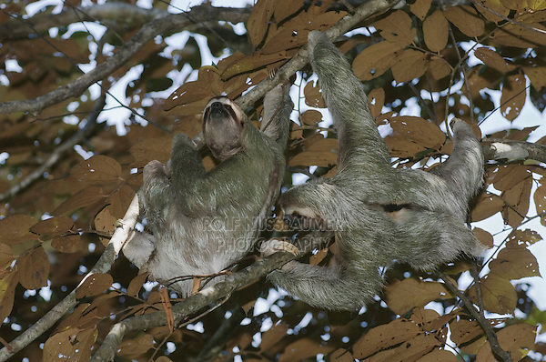 Brown-throated Three-toed Sloth, Bradypus variegatus , males fighting, Manuel Antonio , December 2006