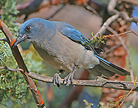 Adult Arizona Mexican jay in juniper tree