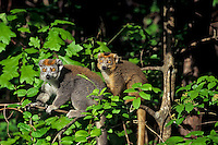 Crowned lemur (Eulemer coronatus) couple, Endangered Species