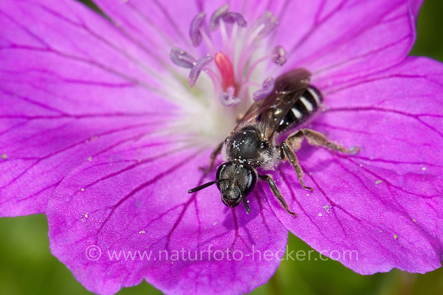 Furchenbiene, Schmalbiene, Furchen-Biene, Schmal-Biene, Blütenbesuch, Lasioglossum cf. costulatum, Lasioglossum spec., sweat bee, European halictid bee, Furchenbienen, Schmalbienen